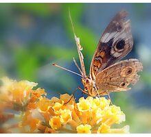 Buckeye Butterfly Photographic Print