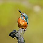 Kingfisher  by Tim Collier