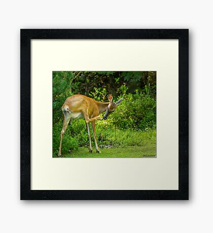 White Tailed Deer Scratching it's Nose Framed Print