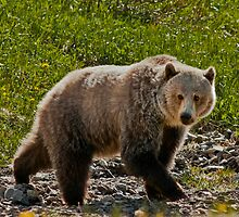 Kananaskis Grizzly by Kerri Gallagher