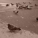 parisian pigeons by DKphotoart