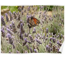 Monarch Butterflies on lavender  at Bethany, Barossa Valley Poster