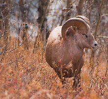 Big Horn Sheep 1 by Kerri Gallagher