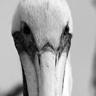 Black and White Pelicans by Karen  Moore