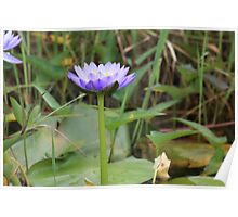 Water Lilies. Fogg Dam, Northern Territory Poster