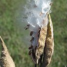 Milkweed in the Wind by teresa731