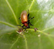 Beetle Beetle by Helena Bolle