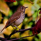 Swainson's Thrush by John Absher