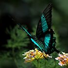 Emerald Swallowtail by Gary Fairhead