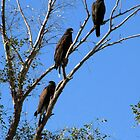 Harris's Hawks ~ Family meeting by Kimberly Chadwick