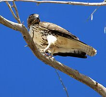 Red-tailed Hawk ~ Juvenille (mine) by Kimberly Chadwick