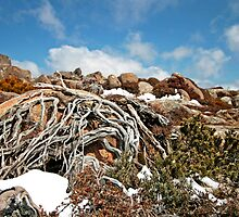 Mt Wellington Tree Roots  by Sim Baker