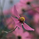 """Shower drop"" - a single drop of rain on a cosmos bloom by Fineli"