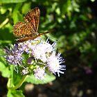 Butterfly ~ Fatal Metalmark by Kimberly Chadwick
