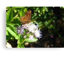 Butterfly ~ Fatal Metalmark Canvas Print