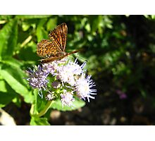 Butterfly ~ Fatal Metalmark Photographic Print