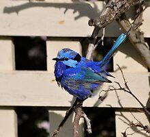 Blue Wren in the Garden Busselton Western Australia by Coralie Plozza