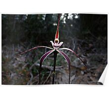 Crimson spider orchid, Caladenia footeana Poster
