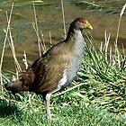 Tasmanian Native-hen by Graeme  Hyde