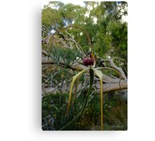 Rare Giant Spider Orchid, Caladenia excelsa Canvas Print