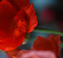 Red poppy by Janet Leadbeater