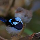 Superb Fairy Wren by Steve Axford