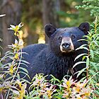 Black bear in the berries by Liz Percival