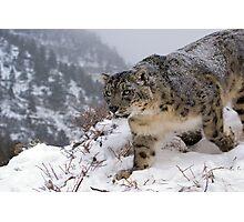 Snow leopard 11 Photographic Print
