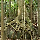 Tree at Tambourine Mountain, QLD by BurrowsImages