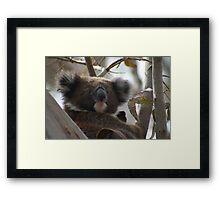 Young koala - Adelaide Hills Framed Print