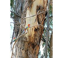 Mates in a Gum Tree Photographic Print