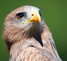 Harris Hawk Close-Up by imagetj