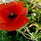 Poppy in the field by bubblehex08