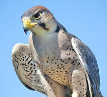 Bird of Prey - American Kestrel by Paulette1021