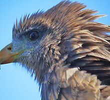 Hawk Up Close and Personal by Paulette1021