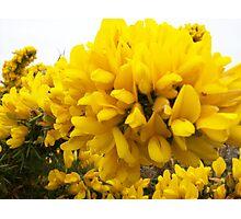 Yellow Gorse Photographic Print