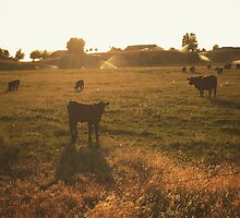 Cattle at sunset by JULIENICOLEWEBB