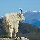 Colorado Mountain Goat by Luann wilslef