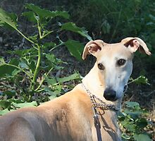 Spanish greyhound Grady by homesick