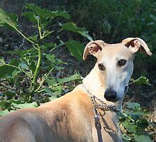 Spanish greyhound Grady by homesick