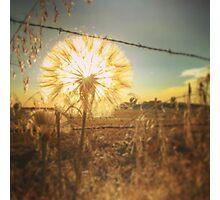 Illuminated Dandelion  Photographic Print