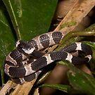 Catesby's Snail-eater, Peru by Erik Schlogl