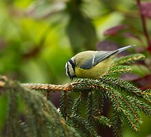 Pecking Blue Tit by kernuak