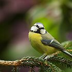 Blue Tit Head-on by kernuak