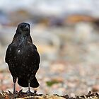 Carrion Crow by kernuak