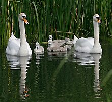 swans family day out by pamtrezise