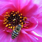 Tiny Mortar Bee on Pink Dahlia Centre by BlueMoonRose