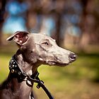 Slipstream the Whippet by ruthlessphotos