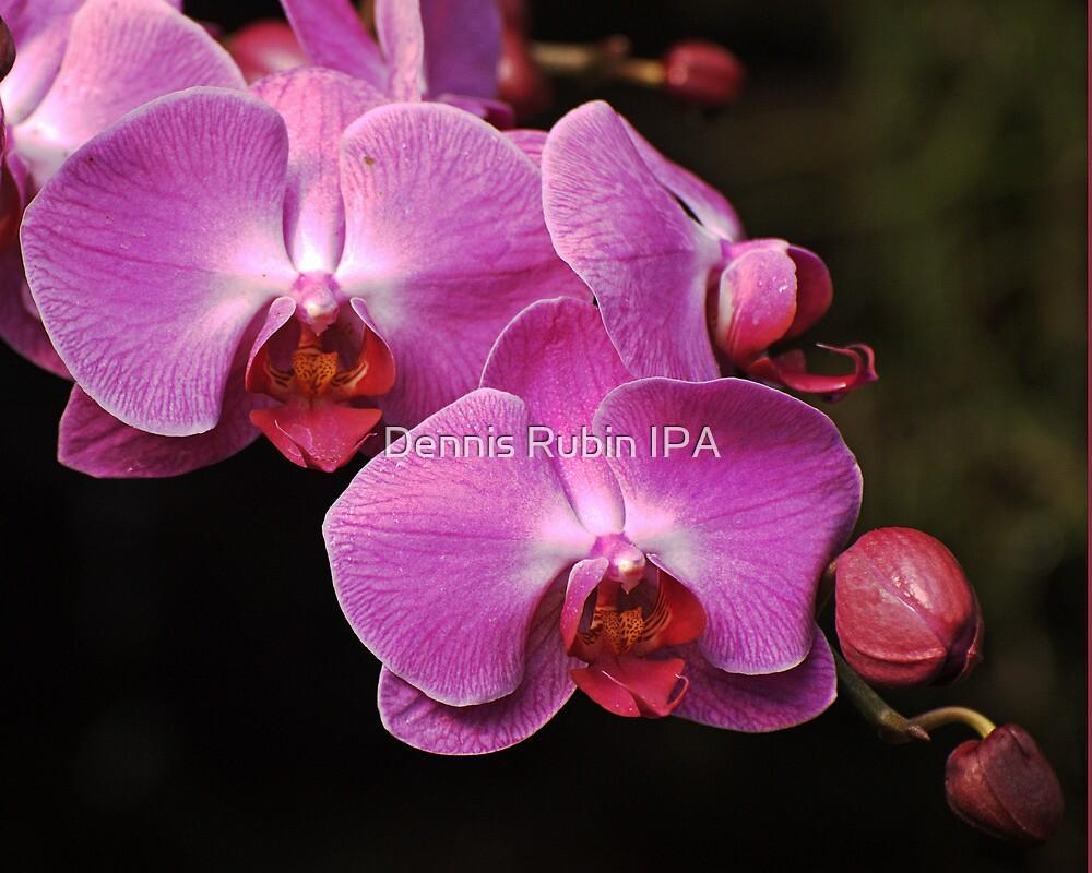New Orchid Cascade   by Dennis Rubin IPA