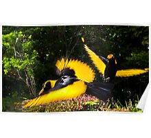 Male Regent Bower Birds Poster